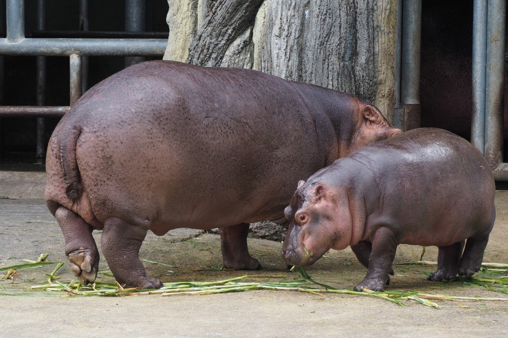 Hippo x2